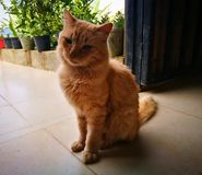 Πολύ γούνινη πορτοκαλιά γάτα σε ένα αγροτικό σπίτι στοκ εικόνες