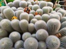Πολύ είδη κάκτων Ο κάκτος αυξήθηκε βράχος succulent Sulcorebutia Haworthia Myriostigma Astrophytum στοκ εικόνα