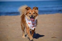 Πολύ ευτυχές καφετί σκυλί που περπατά στην παραλία στοκ εικόνα με δικαίωμα ελεύθερης χρήσης