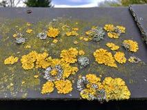 Πολύ κίτρινο parietina Xanthoria λειχήνων σε μια στέγη Στοκ Εικόνες