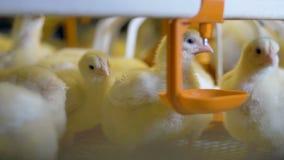 Πολύ κοτόπουλο μωρών στο φάρμα πουλερικών 4K απόθεμα βίντεο