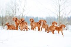 Πολύ κόκκινο visla σκυλιών παίζει το χιόνι, πορτρέτο στοκ εικόνα