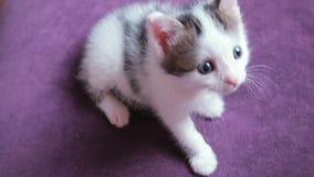 Πολύ μικρό γατάκι δύο εβδομάδες παλαιό Το χαριτωμένο αστείο γατάκι προσέχει το παιχνίδι Λίγη γάτα μωρών στο ιώδες υπόβαθρο απόθεμα βίντεο