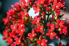 Πολύ μικρό λεπτό κόκκινο λουλούδι συγκίνησης χηρών ` s της Μαδαγασκάρης στενό σε επάνω στοκ φωτογραφίες