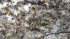 Πολύ ρόδινο κεράσι ανθίζει στα δέντρα μια ηλιόλουστη ημέρα φιλμ μικρού μήκους