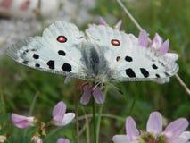 Πολύ σπάνια πεταλούδα Parnassius απόλλωνας στοκ εικόνα με δικαίωμα ελεύθερης χρήσης