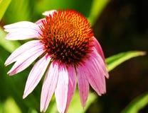 Πολύ συμπαθητικό ρόδινο λουλούδι πετάλων στοκ φωτογραφίες