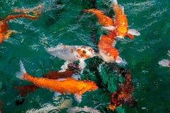 Πολύ φανταχτερό κυπρίνος ή πορτοκάλι ή ο χρυσός ψαριών Crap ή Koi χρωματίζουν, κολυμπώντας στη λίμνη που ποτίζει το κύμα Στοκ Φωτογραφία