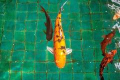 Πολύ φανταχτερό κυπρίνος ή πορτοκάλι ή ο χρυσός ψαριών Crap ή Koi χρωματίζουν, κολυμπώντας στη λίμνη που ποτίζει το κύμα Στοκ Φωτογραφίες