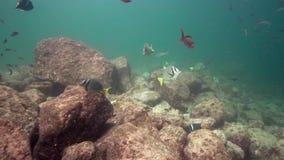 Πομπός Angelfish Holacanthus βασιλιάδων καπνιστών φραγκοκοτών meleagris Arothron guttatus Surgeonfish Acanthurus Whitespotted απόθεμα βίντεο