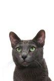 Πονηρή γκρίζα γάτα Στοκ εικόνες με δικαίωμα ελεύθερης χρήσης