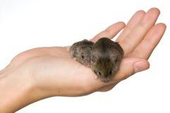 Ποντίκια εκμετάλλευσης στοκ φωτογραφία