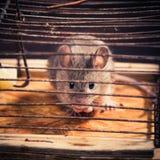 Ποντίκια που πιάνονται στην ποντικοπαγήδα Στοκ φωτογραφίες με δικαίωμα ελεύθερης χρήσης
