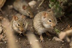 Ποντίκια που τρώνε μεταξύ των βράχων που βλέπουν μέσω των κλάδων στοκ φωτογραφίες