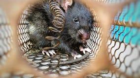 Ποντίκια που φυλακίζονται στοκ εικόνες