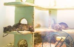 ποντίκια Στοκ φωτογραφίες με δικαίωμα ελεύθερης χρήσης