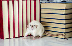 Ποντίκι ανάγνωσης Στοκ Εικόνες