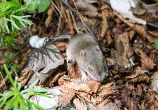 ποντίκι μωρών Στοκ φωτογραφίες με δικαίωμα ελεύθερης χρήσης
