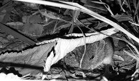 Ποντίκι μωρών στοκ φωτογραφίες