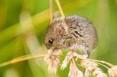 ποντίκι πεδίων Στοκ εικόνες με δικαίωμα ελεύθερης χρήσης