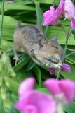 Ποντίκι που αναρριχείται στο sweetpea Στοκ εικόνες με δικαίωμα ελεύθερης χρήσης