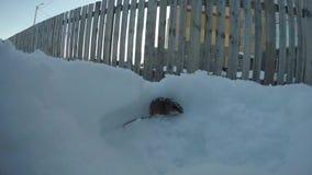 Ποντίκι που σκάβει μια τρύπα στο χιόνι κοντά στον ξύλινο φράκτη απόθεμα βίντεο