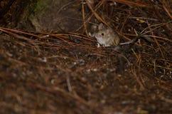 Ποντίκι σπιτιών Στοκ εικόνες με δικαίωμα ελεύθερης χρήσης