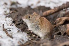 Ποντίκι στο χιόνι Στοκ Φωτογραφίες