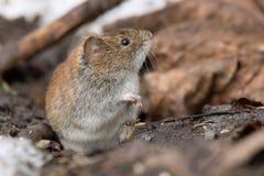 Ποντίκι στο χιόνι Στοκ Φωτογραφία