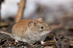 Ποντίκι στο χιόνι Στοκ εικόνες με δικαίωμα ελεύθερης χρήσης