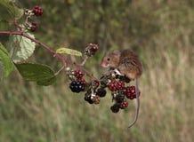 Ποντίκι συγκομιδών, minutus Micromys Στοκ εικόνα με δικαίωμα ελεύθερης χρήσης