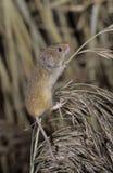 Ποντίκι συγκομιδών, minutus Micromys Στοκ φωτογραφία με δικαίωμα ελεύθερης χρήσης