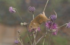 Ποντίκι συγκομιδών, minutus Micromys Στοκ εικόνες με δικαίωμα ελεύθερης χρήσης