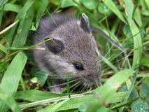 ποντίκι Στοκ εικόνες με δικαίωμα ελεύθερης χρήσης
