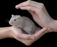 ποντίκι στοκ εικόνες