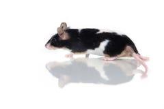 ποντίκι Στοκ Φωτογραφίες