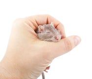 Ποντίκι Gerbil στο ανθρώπινο χέρι (unguiculatus Meriones) Στοκ Φωτογραφία