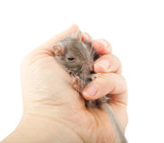 Ποντίκι Gerbil στο ανθρώπινο χέρι (unguiculatus Meriones) Στοκ φωτογραφία με δικαίωμα ελεύθερης χρήσης