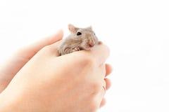 Ποντίκι Gerbil στο ανθρώπινο χέρι (unguiculatus Meriones) Στοκ Εικόνα