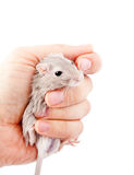Ποντίκι Gerbil στο ανθρώπινο unguiculatus Meriones χεριών Στοκ φωτογραφία με δικαίωμα ελεύθερης χρήσης