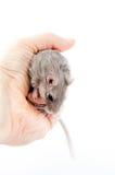 Ποντίκι Gerbil στο ανθρώπινο unguiculatus Meriones χεριών Στοκ φωτογραφίες με δικαίωμα ελεύθερης χρήσης