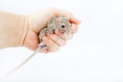 Ποντίκι Gerbil στο ανθρώπινο unguiculatus Meriones χεριών Στοκ Εικόνες