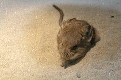 Ποντίκι Shrew σε μια άμμο Στοκ φωτογραφίες με δικαίωμα ελεύθερης χρήσης