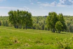 Πορεία κοντά στις σημύδες φθινοπώρου στον τομέα Στοκ Εικόνες