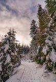 Πορεία μέσω του κομψού δάσους το χειμώνα Στοκ Εικόνες