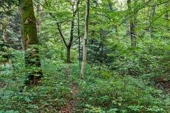 Πορεία παρόδων διάβασης πεζών με τα πράσινα δέντρα στη δασική όμορφη αλέα στο πάρκο Τρόπος διαβάσεων μέσω του σκοτεινού δάσους Στοκ Φωτογραφία