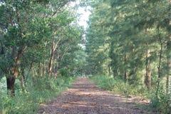 Πορεία παρόδων διάβασης πεζών με τα πράσινα δέντρα στη δασική όμορφη αλέα μέσα Στοκ Εικόνες