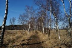 Πορεία που ευθυγραμμίζεται με τα δέντρα σημύδων Στοκ φωτογραφίες με δικαίωμα ελεύθερης χρήσης