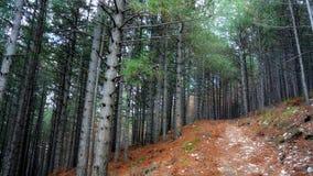 Πορεία στο δάσος πεύκων δέντρων Στοκ Εικόνες
