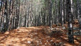 Πορεία στο δάσος πεύκων δέντρων Στοκ εικόνες με δικαίωμα ελεύθερης χρήσης